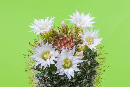 Beautiful white flowers of a flowering cactus on a light green background
