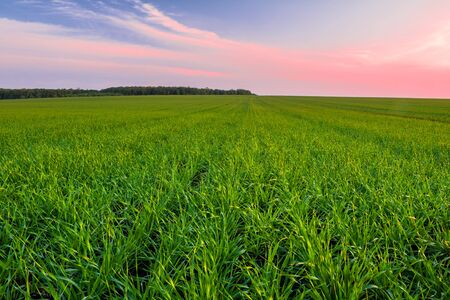 Green wheat field in spring and young shoots of wheat in the foreground