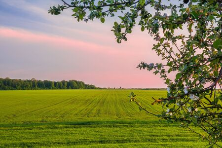 Green wheat field in spring, forest edge on the horizon and a tree branch in the foreground Stock Photo