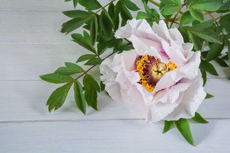 Beautiful  flower peony tree-like (Paeonia suffruticosa) on a white wooden table Stock Photo - 147507751