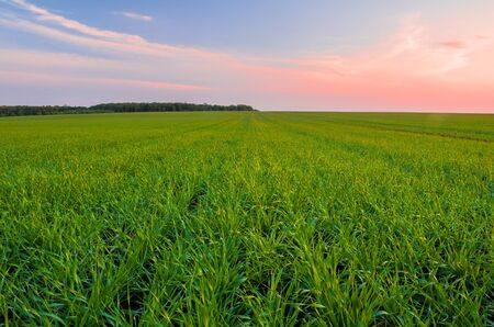 Green wheat field in spring and young shoots of wheat in the foreground Stock Photo