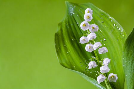 Beautiful lily of the valley flowers on a light green background
