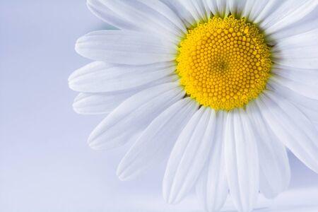 Chamomile flower close up on white background