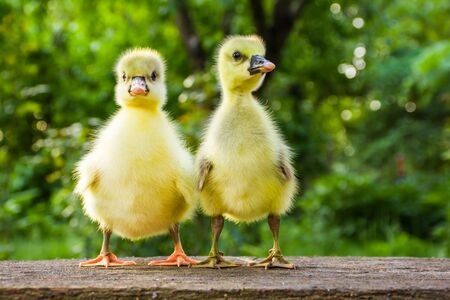 Two cute little domestic goose chicks on a wooden bench
