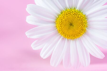 Chamomile flower close up on a pink background. Soft focus
