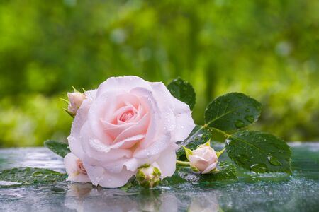 Beautiful pale pink rose in water drops on a glass surface