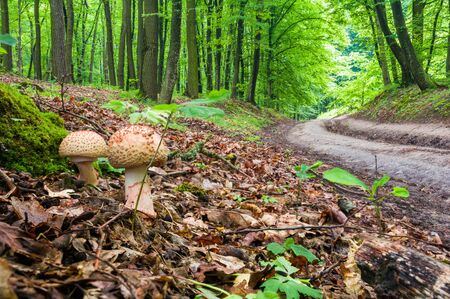 Two young mushrooms grow in the woods. Edible Blusher fungi Amanita rubescens Stock Photo