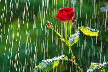 Red rose on the background of tracks from rain drops