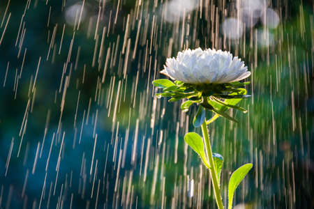 Beautiful white aster flower on a background of tracks of water drops