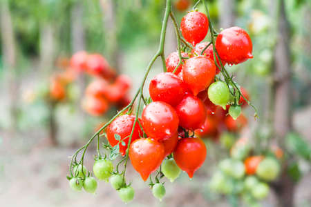 Bunch of ripe red tomato on a background of bushes of tomatoes. Tomatoes of the Arab Emirates variety Banque d'images
