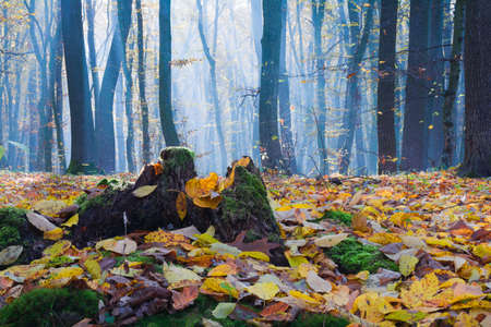 Fallen yellow leaves, an old stump with moss and trees in the fog lit by the sun