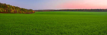 Green field of young sprouts of winter wheat and autumn forest on the horizon