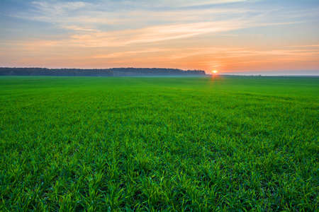 Sunset over a green field of young sprouts of winter wheat