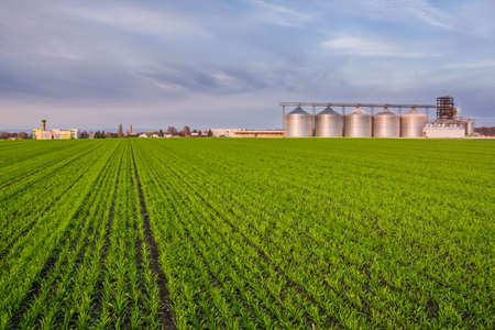 Green field of young wheat sprouts, a number of granaries and other buildings on the horizon