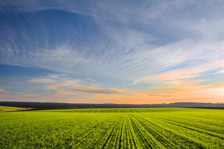 Green field with rows of young wheat sprouts and sky in sunset colors