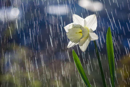 Beautiful white daffodil flower on background of water drops tracks