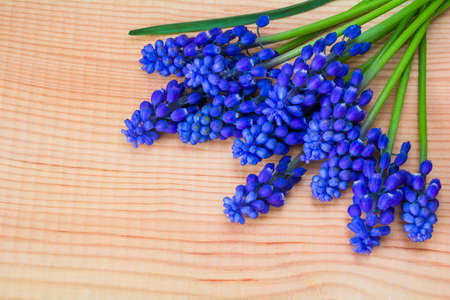 Beautiful spring blue Muscari flowers on an wooden table