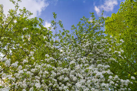Blossoming apple tree branch in the park on sky background