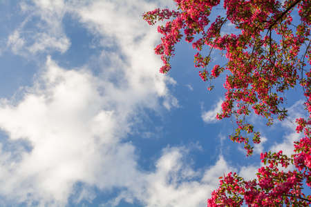 Pink flowers of blooming decorative apple tree Nedzvetsky on a background of blue sky with clouds Stock Photo