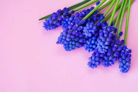 Beautiful spring blue Muscari flowers on a pink background