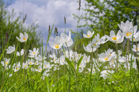 Beautiful white wildflowers of anemones bloom in the garden. Anemone sylvestris