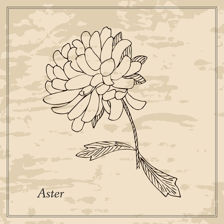 aster: Hand drawn aster. Floral vintage card. Vector illustration.