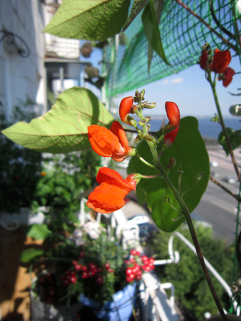 decorative balcony: Red flowers of runner bean in greening the balcony. Stock Photo