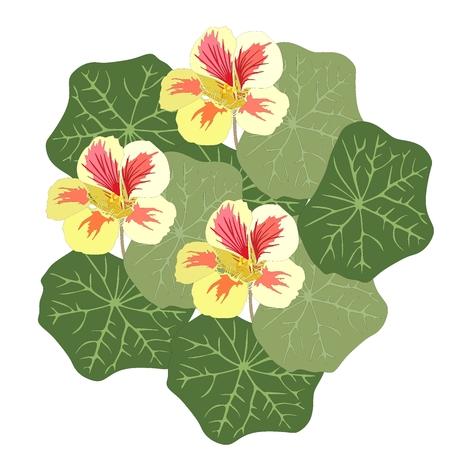 Nasturtium flowers, isolated on white background. Vector botanical detailed illustration.