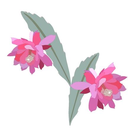 Epiphyllum flowers, isolated on white background. Vector botanical detailed illustration. Illustration