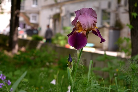 Iris germanica. City lungs for peoples health. Ways to prevent soil erosion in town. Greenery of the urban courtyard with unpretentious plants as an example of guerrilla gardening. Stock Photo