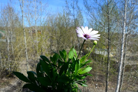 Osteospermum flower is lit by the sun. Balcony greening. Beautiful african daisy on the background of blurred trees outside the window.