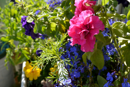 Pink and purple petunia flowers, blue lobelia in greening the balcony. Colorful island of nature in the city in sunny summer day. Beautiful little garden. 版權商用圖片