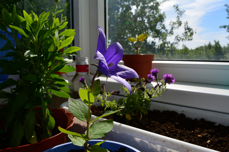 Balcony garden with beautiful flowers. Campanula, petunia and osteospermum in pots.