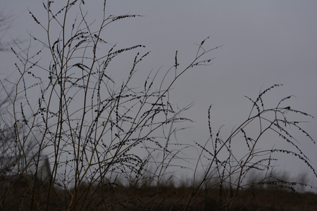Dry herbs in late autumn. Silhouettes of plants on the sky background in overcast day. Stock Photo