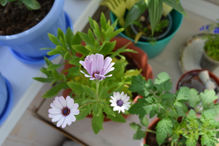 Balcony garden. Blooming osteospermum, tomato and lobelia in flower pots. Potted plants in home greening.