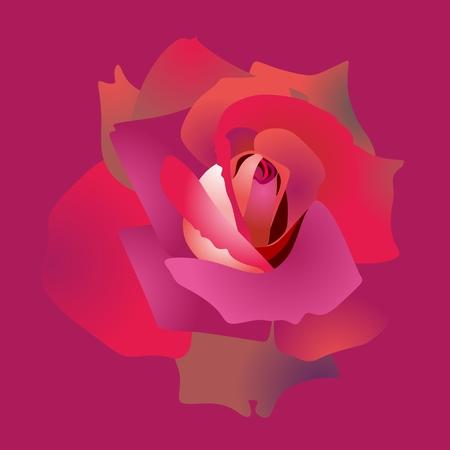 Red rose bud macro isolated on purple background.