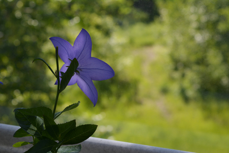 Delicate flower of platycodon grows in pot near the window on the balcony.