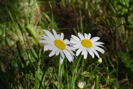 Two daisy flowers grow side by side. City greening by unpretentious plants. Guerrilla gardening.