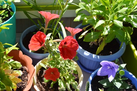 Potted flowers in small urban garden on the balcony. Red petunia and violet platycodon, green leaves of osteospermum in pots on table.