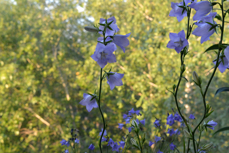 Violet flowers of the peach-leaved bellflower on blurred background of sunlit trees. Campanula persicifolia