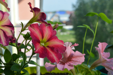 Charming petunia flowers in shades of red and pink in the balcony garden. Standard-Bild