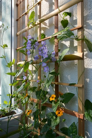 Blooming garden on the balcony. Violet flowers of campanula persicifolia and orange flowers of thunbergia on wooden trellis.