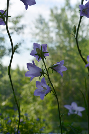 Beautiful violet flowers on long stems of peach-leaved bellflower (Campanula persicifolia)