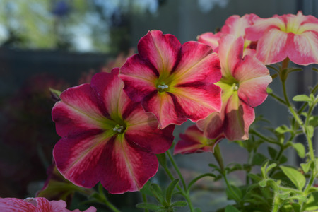 Bright petunia flowers with multicolored petals. Home garden on the balcony  with blooming plants.