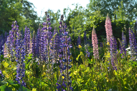 Bright meadow with violet and pink lupinus. Summer day in flowering garden.. 版權商用圖片