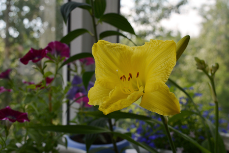 Yellow flower of day lily in small garden on the balcony.