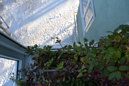 Small garden on the balcony in winter. Green leaves of Cobaea in home and snow outdoor. 스톡 콘텐츠
