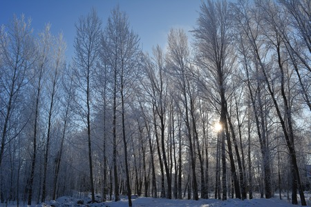 Trees are covered with hoarfrost in winter. Alley in the city. 免版税图像