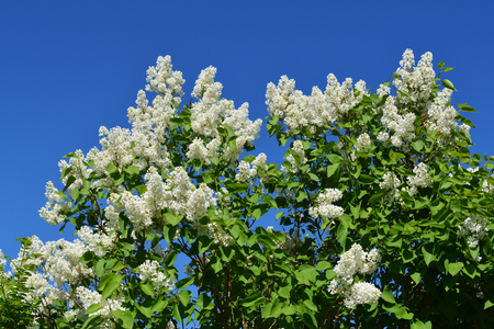 Blooming lilac bush with white flowers against clear blue sky.