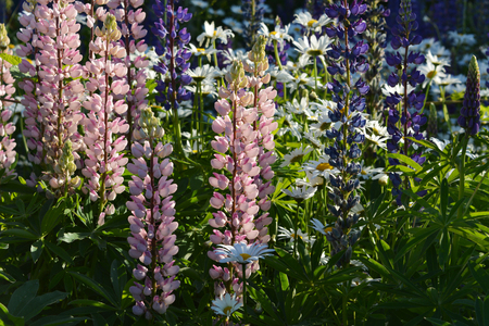 Flowering meadow with pink and violet lupine flowers and white daisies. Nature in summer.